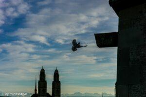 Bird Landing with Grossmünster Silhouette Zürich, Römerhof
