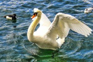 Swan in Zurich - Springtime