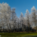 Frosty Trees - Winter Time