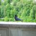Proud Black Bird - Animals