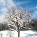 Snowed Tree under Blue Sky - Winter Time