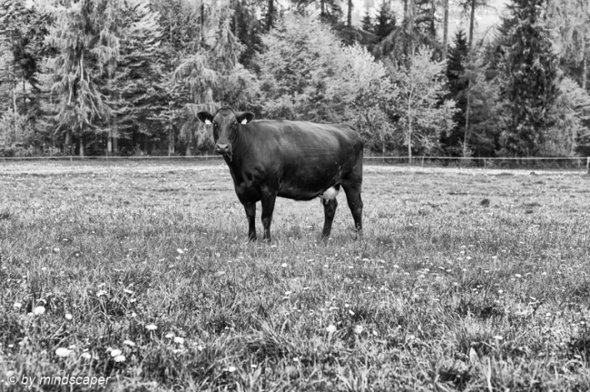 Black Cow with White Udder - Black & White