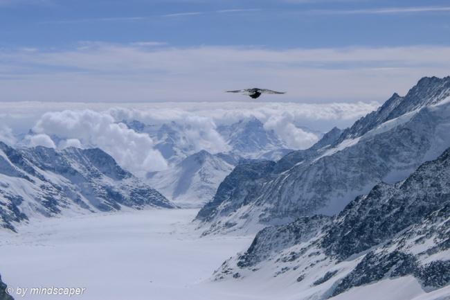 Bird above Aletsch Glacier - Alpine Spirit