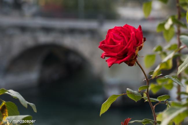 The Rose at the Bridge