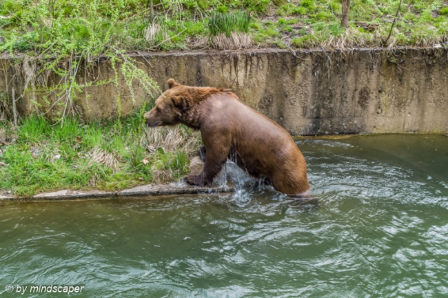 Swimming Bear Outwatering